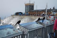 Vögel auf der Zugspitze